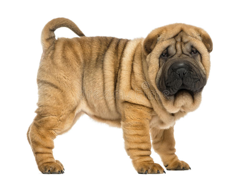 Download Side View Of Shar Pei Puppy (11 Weeks Old) Stock Photo - Image: 30341700