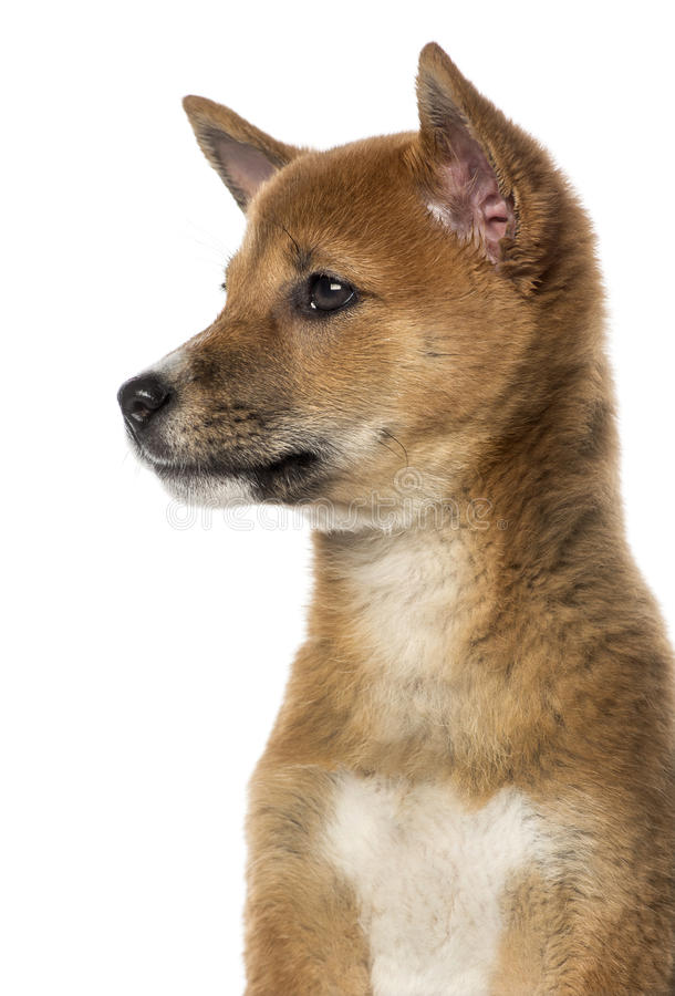 Side View Of A Shiba Inu Puppy (3 Months Old) Stock Image ...