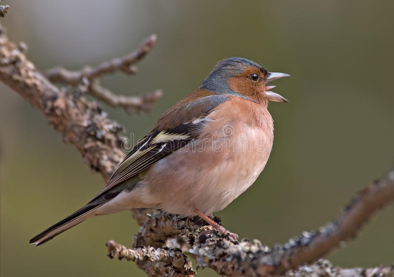 Download Side View Of Singing Chaffinch Stock Image - Image of view, blurred: 65163155