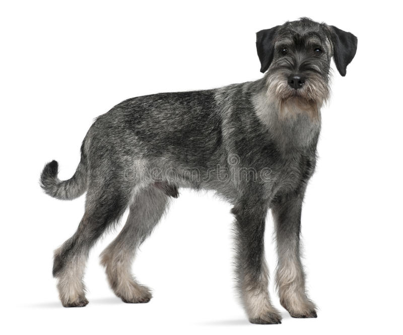 Download Side View Of Standard Schnauzer, Standing Stock Image - Image: 12907613