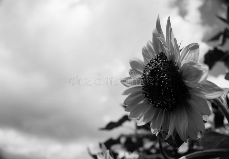 Black And White Isolated Sunflower Sideview stock photos