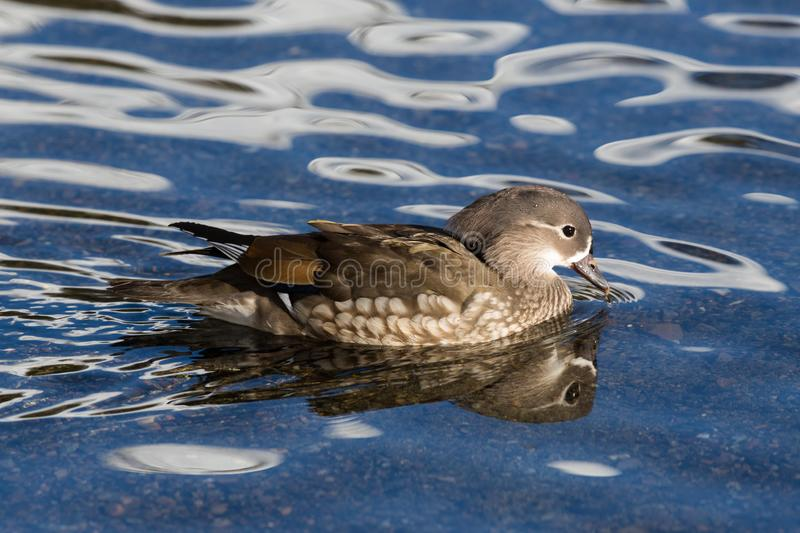 Side view swimming female mandarin duck aix galericulata in water stock photography