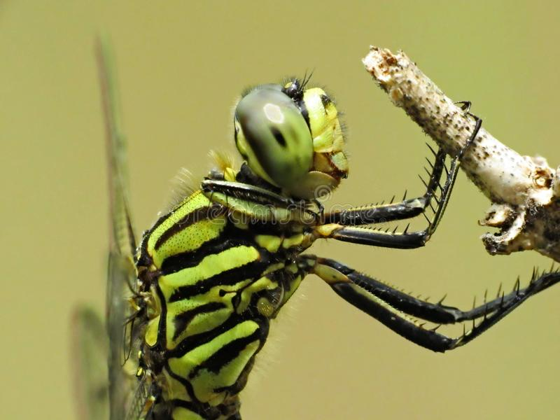 Side View Of The Thorax And Head Of A Variegated Green Skimmer. Side close-up view of the thorax and head view of a Variegated Green Skimmer dragonfly, Orthetrum stock photography