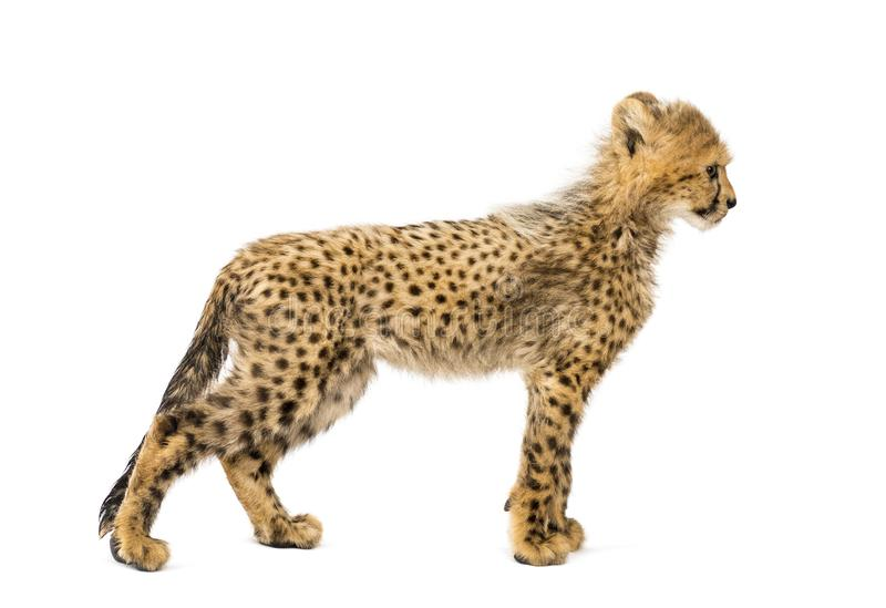 Side view of three months old cheetah cub standing, isolated royalty free stock images