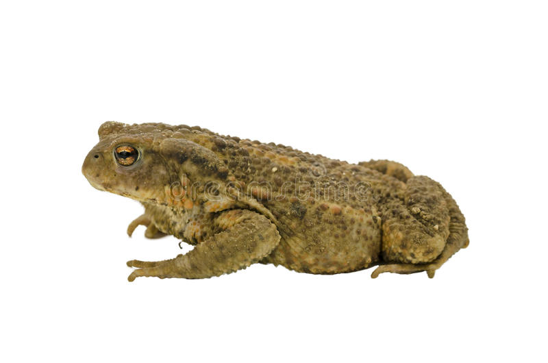 Side view of a toad royalty free stock image