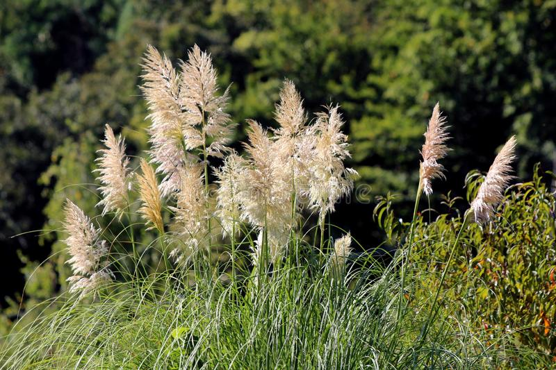 Side view of top of Pampas grass or Cortaderia selloana flowering plant with cluster of flowers in a dense white panicle stem. Side view of top of Pampas grass royalty free stock photos