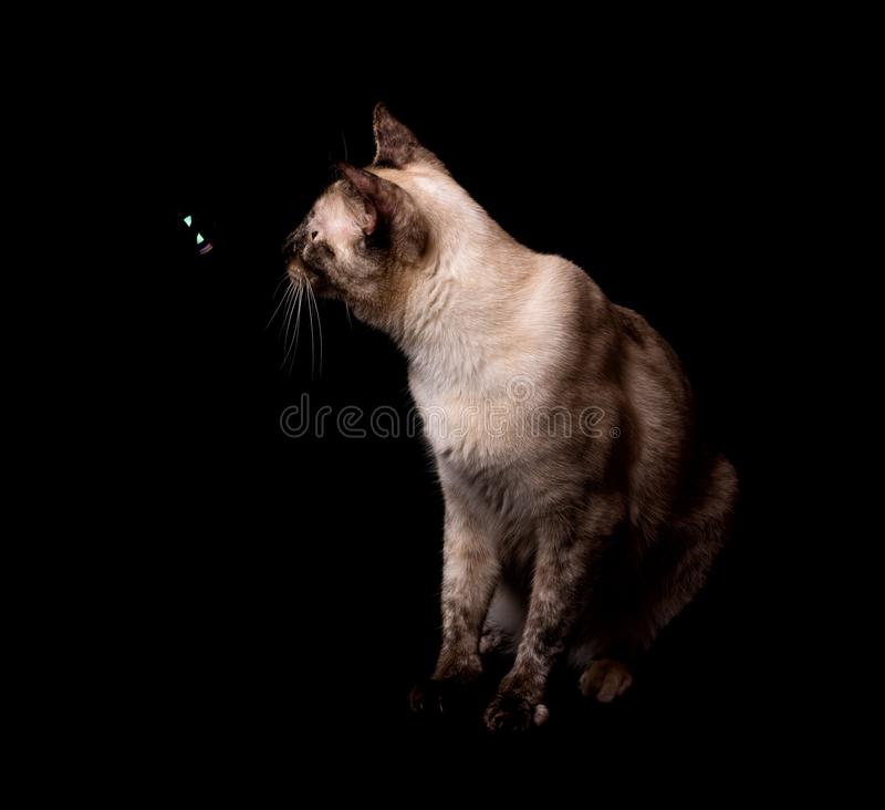 Side view of a tortie point Siamese cat looking at a bubble floating in front of her royalty free stock image