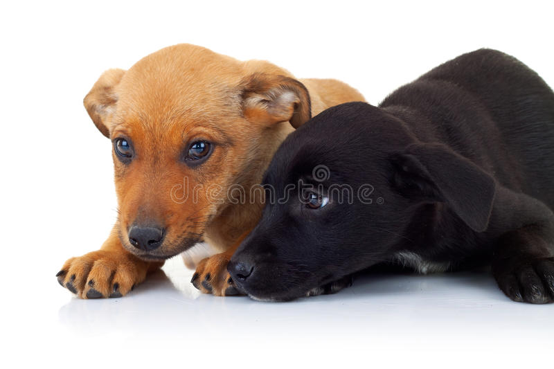 Side view of two stray puppy dogs lying down. On a white background looking a little sad stock photos
