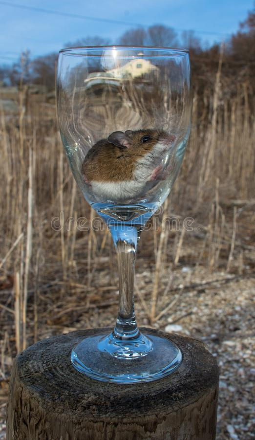 A brown house mouse, Mus musculus, sitting calmly in a long stemmed wine glass in the meadow. royalty free stock image