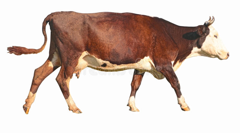 Download Side View Of A Walking Brown Cow Stock Image - Image: 20975553