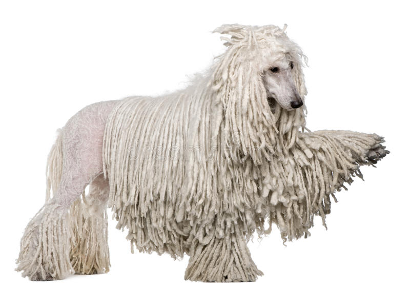 Side view of White Corded standard Poodle. With raised paw standing in front of white background stock image