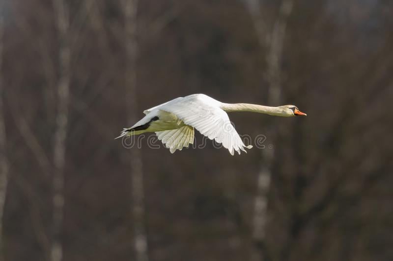 Side view white mute swan cygnus olor flying, trees. Side view one white mute swan cygnus olor flying, trees royalty free stock photography