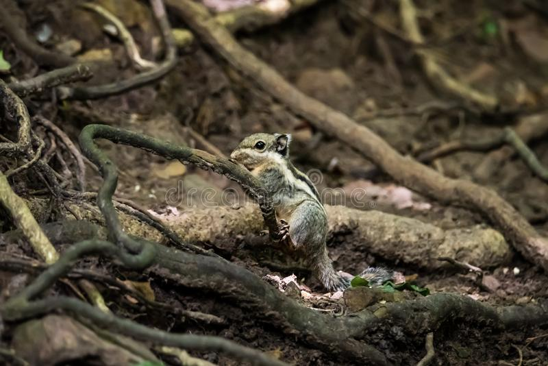 Side view of a wild chipmunk.  royalty free stock photos