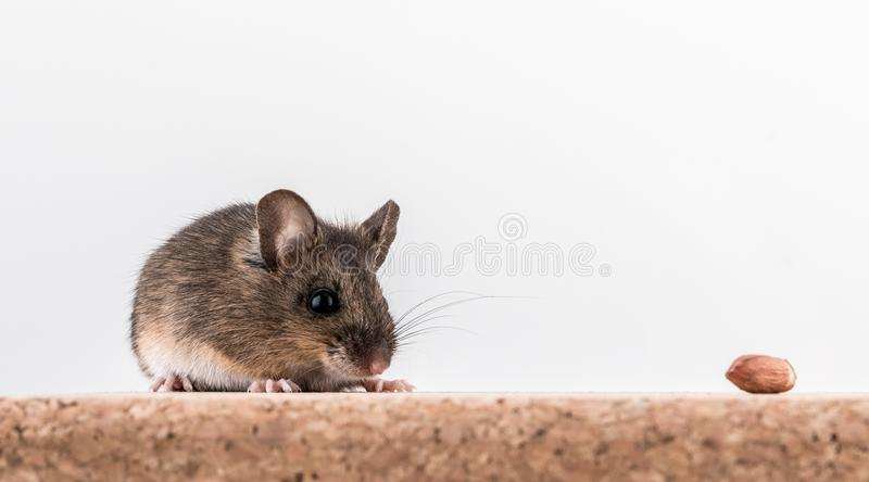 Side view of a wood mouse, Apodemus sylvaticus, sitting on a cork brick with light background, sniffing some peanuts royalty free stock image