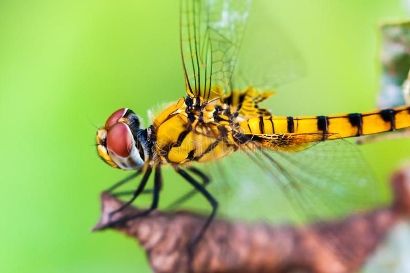 Side view of Yellow Dragonfly. Resting on dry leaf of a plant in nature, found in Kerala, India royalty free stock photos