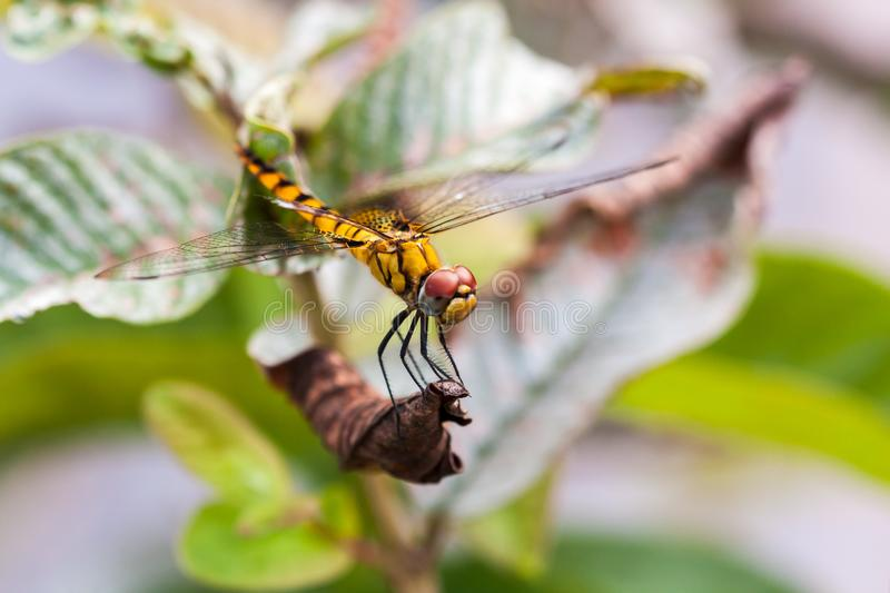 Side view of yellow dragonfly. From top, resting on dry leaf of a plant, found in Kerala, India royalty free stock photos
