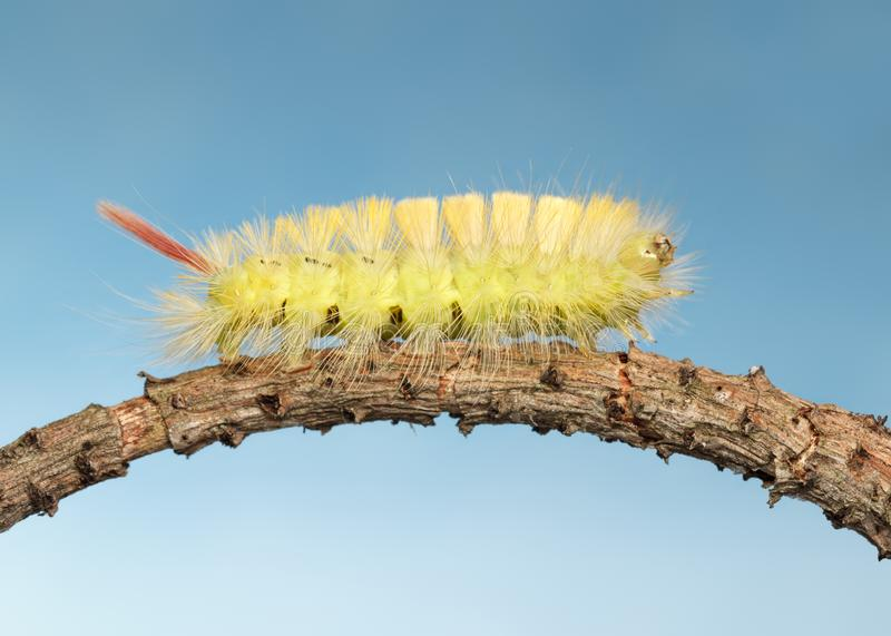 Side view of yellow hairy caterpillar stock photography