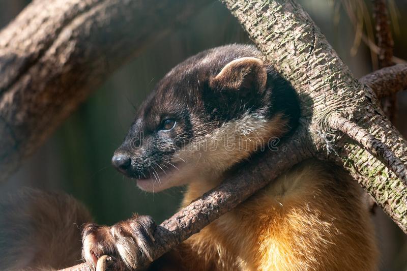 Side view of yellow-throated marten lying on pine branch royalty free stock photo