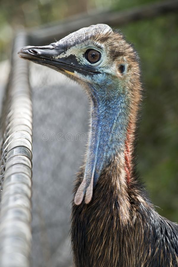 A young cassowary royalty free stock photo