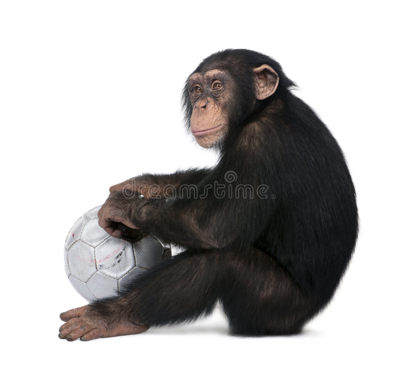 Side view of a Young Chimpanzee and his ball - Sim. Ia troglodytes (5 years old) in front of a white background, he looks like he is sulking stock images