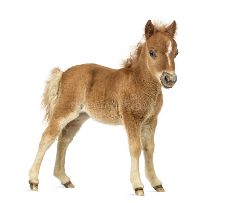 Side view young poney, foal against white background royalty free stock photo