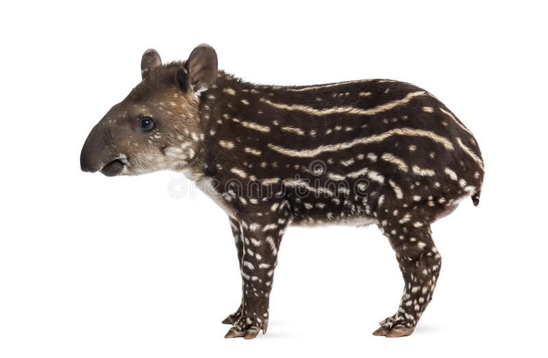 Side view of a young South american tapir, isolated on white royalty free stock image