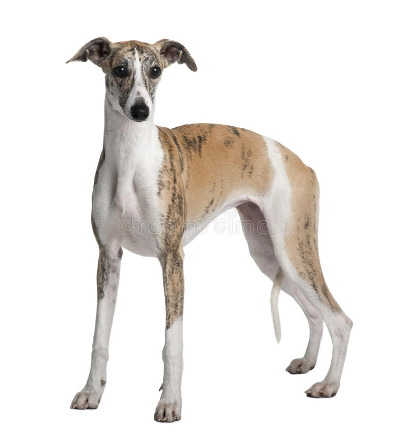 Side view of Young Whippet, standing stock image