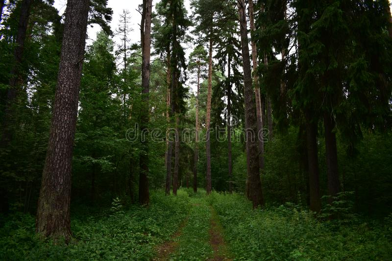 On the sides of the road the forest stood silent and hostile humbly spruce green. Stand royalty free stock image