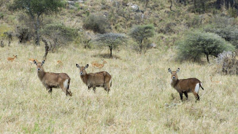 Sideview av anseendet för tre Waterbuck i gräs med huvud lyftte med impala fyra i bakgrunden fotografering för bildbyråer