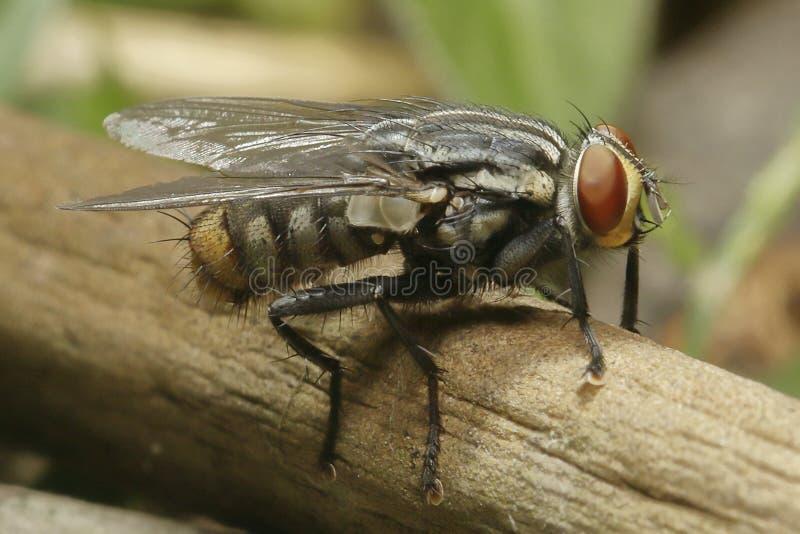 Sideview av en fluga som vilar på för att fatta arkivfoton