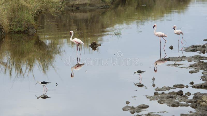 Sideview av tre flamingo som står i vatten med styltaanseende för två Blackwinged i förgrunden royaltyfri bild