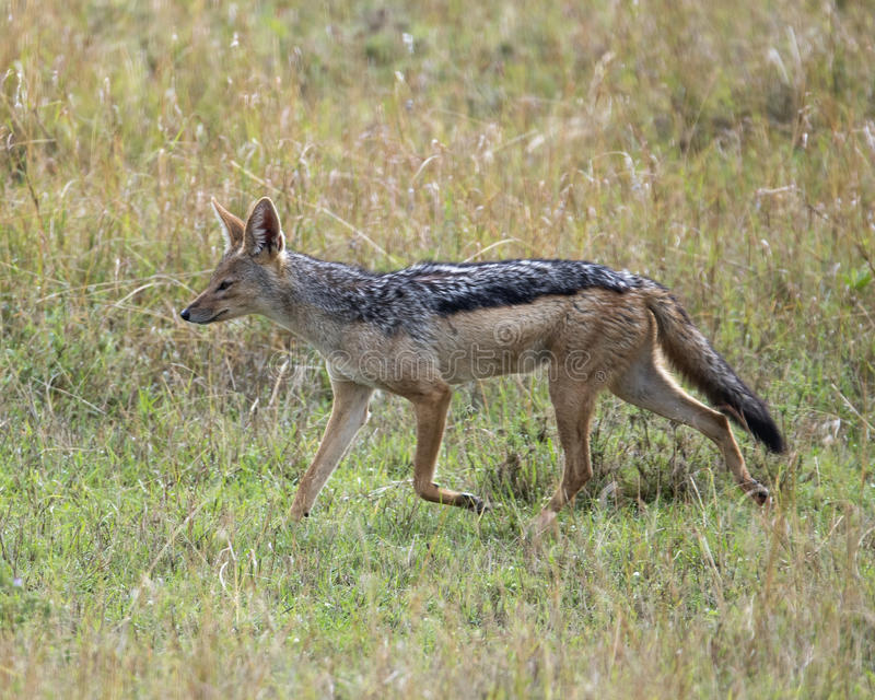 Sideview of black-backed jackal walking in grass looking ahead. In the Masai Mara National Reserve, Kenya stock image