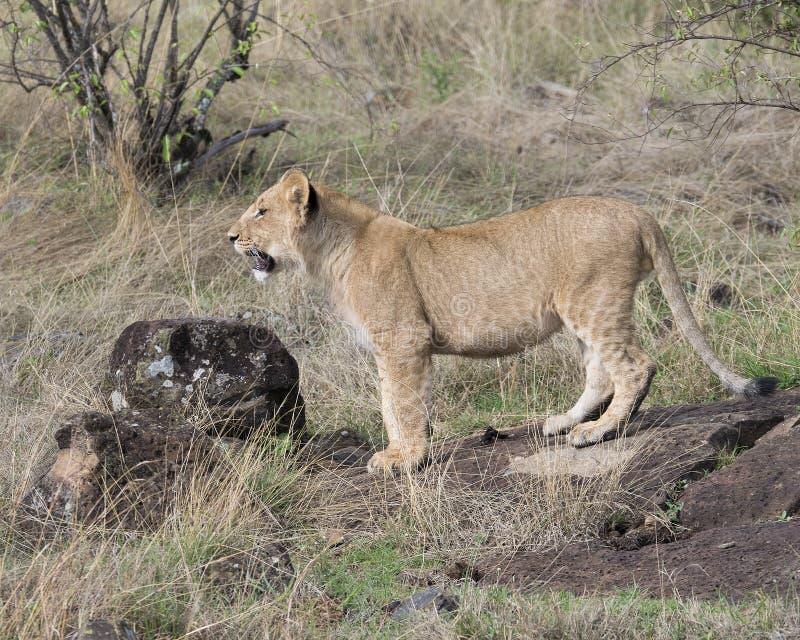 Sideview closeup av ett ungt lejoninnaanseende som framåtriktat ser med en brummande royaltyfria bilder