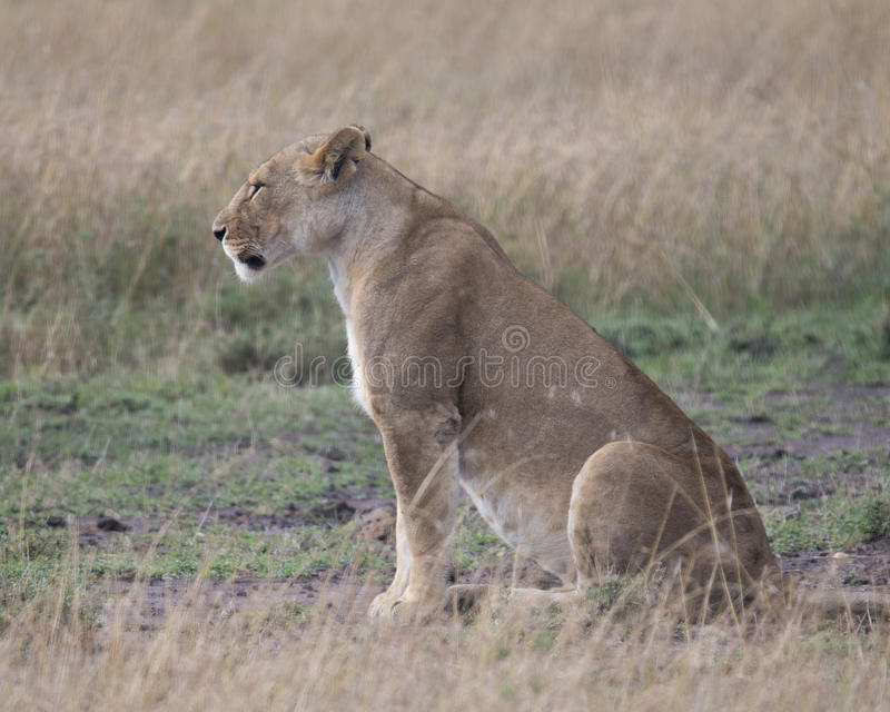 Sideview closeup of lioness sitting on ground looking straight ahead stock image