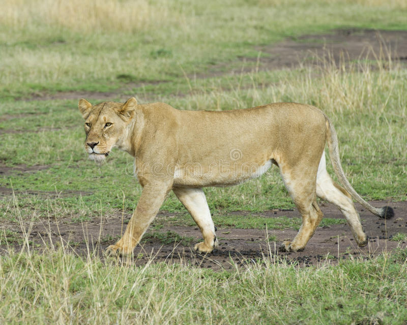 Sideview Closeup of lioness walking in green grass. In the Masai Mara National Reserve, Kenya royalty free stock photography