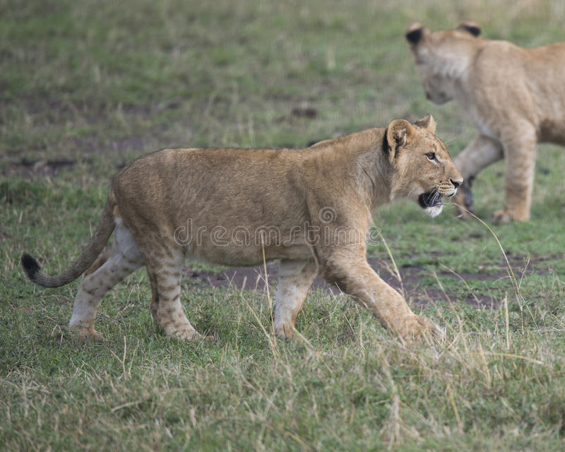 Sideview Closeup of young lioness walking in green grass. In the Masai Mara National Reserve, Kenya stock images