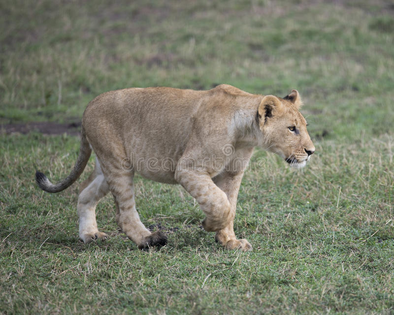 Sideview Closeup of young lioness walking in green grass. In the Masai Mara National Reserve, Kenya royalty free stock photos