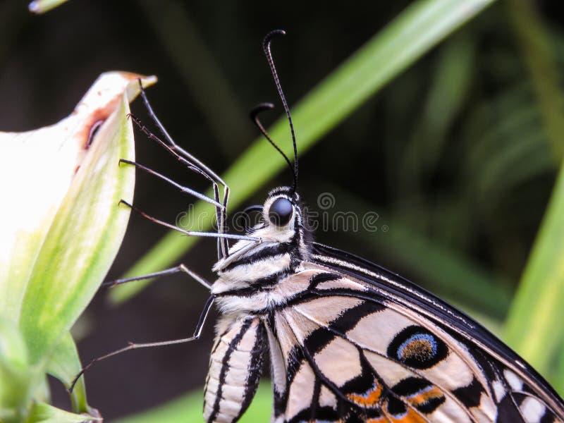 Sideview da borboleta imagem de stock royalty free