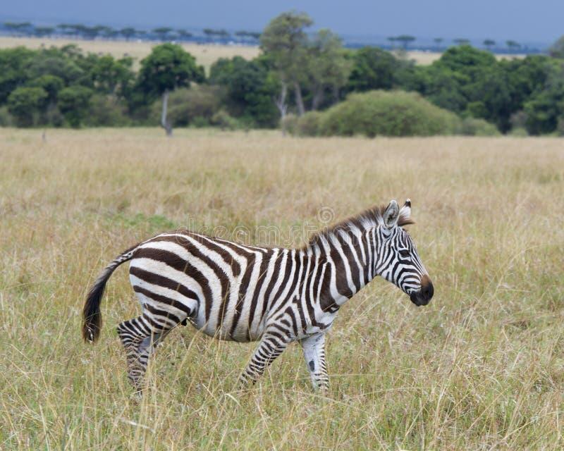 Sideview de la sola cebra que camina en hierba con la cabeza aumentada imagenes de archivo