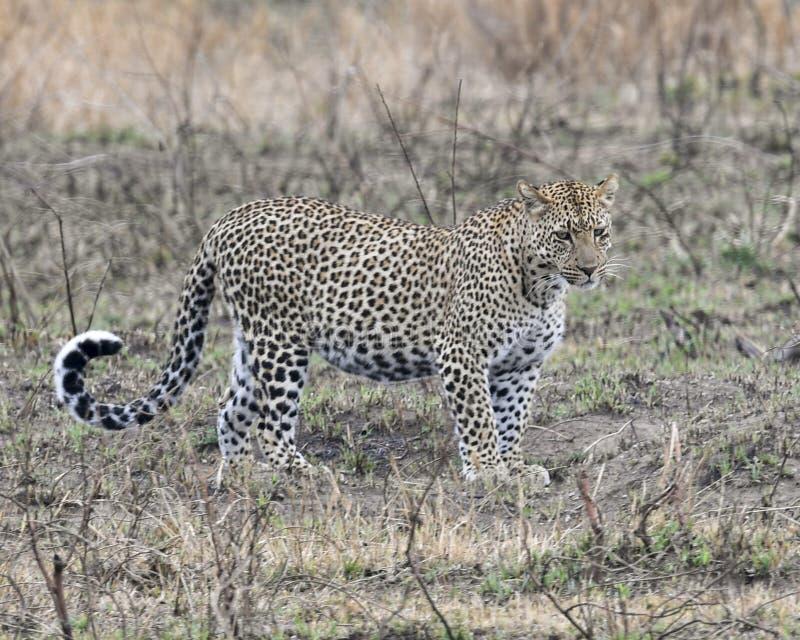 Sideview de um único leopardo adulto que está na grama que olha para a frente imagens de stock
