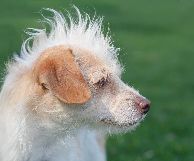Sideview del perro del rescate con el pelo divertido del mohawk foto de archivo
