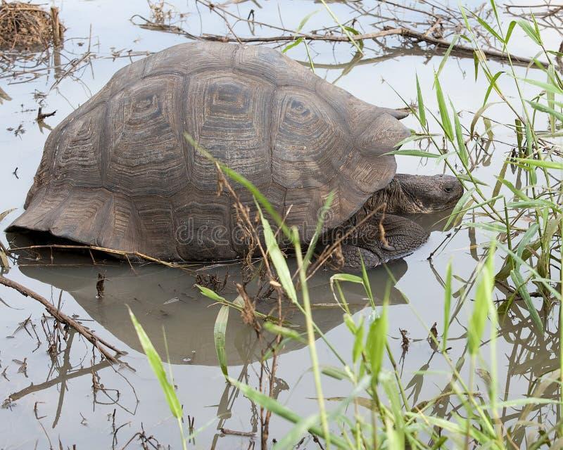 Sideview del primer de la tortuga de las Islas Galápagos del gigante sumergida parcialmente imagen de archivo libre de regalías