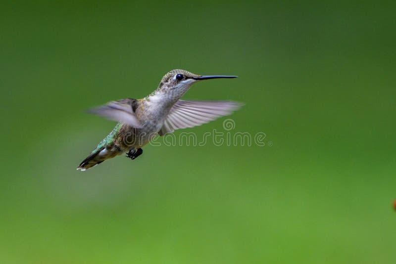 Sideview dell'uccello throated vermiglio di ronzio che si libra con un fondo verde-cupo fotografia stock