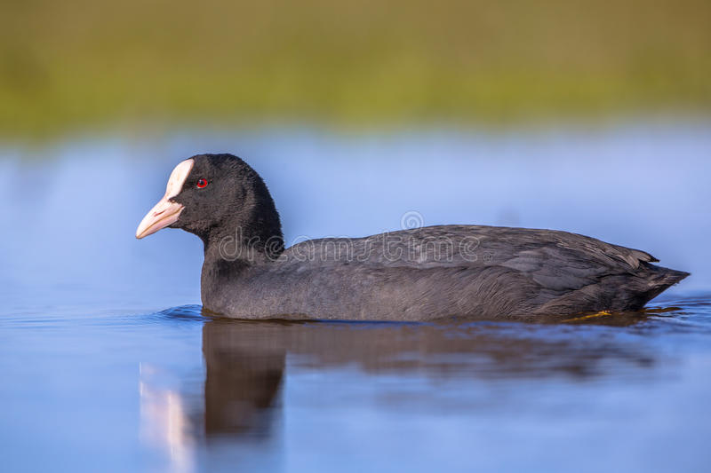 Sideview of Eurasian coot Waterfowl swimming in blue water and l stock photo