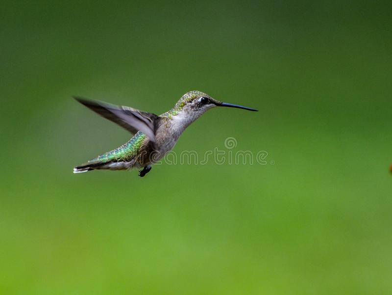 Sideview of a garden visitor known as the Ruby throated humming bird hovering with a deep green background royalty free stock photography