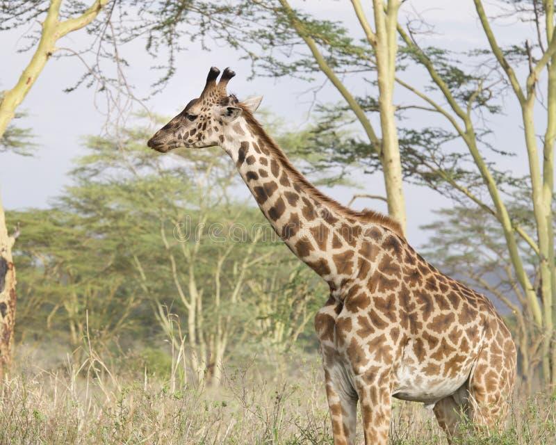 Sideview Masai żyrafa patrzeje naprzód z Acai drzewami w tle zdjęcia royalty free