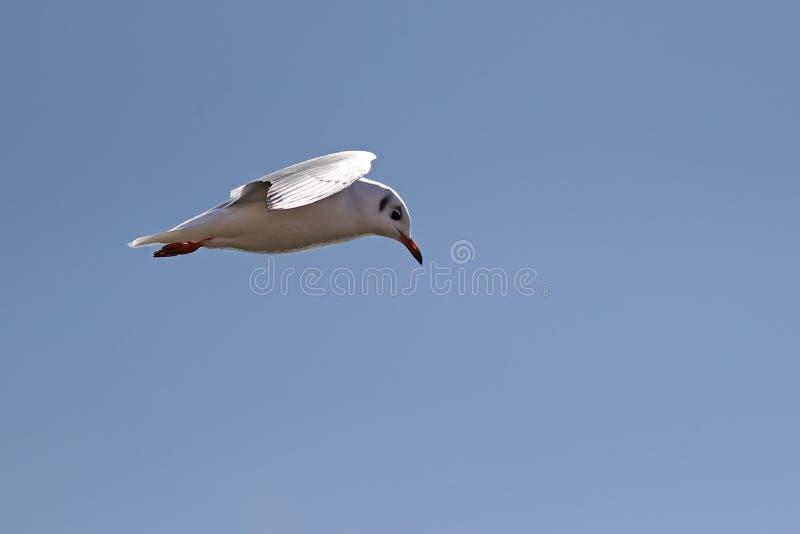 Sideview pospolity seagull w locie obrazy stock