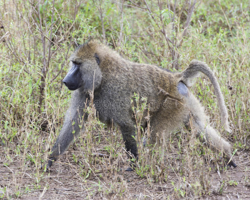 Sideview of a single adult baboon walking in grass royalty free stock photography