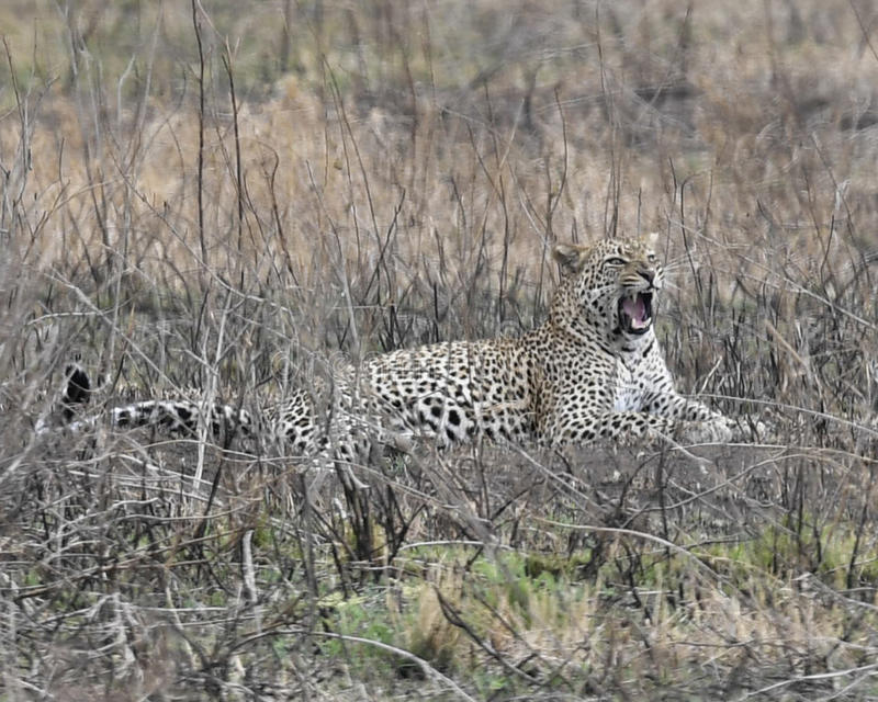 Sideview of a single adult Leopard lying in grass showing teeth. In the Serengeti National Park, Tanzania royalty free stock photography