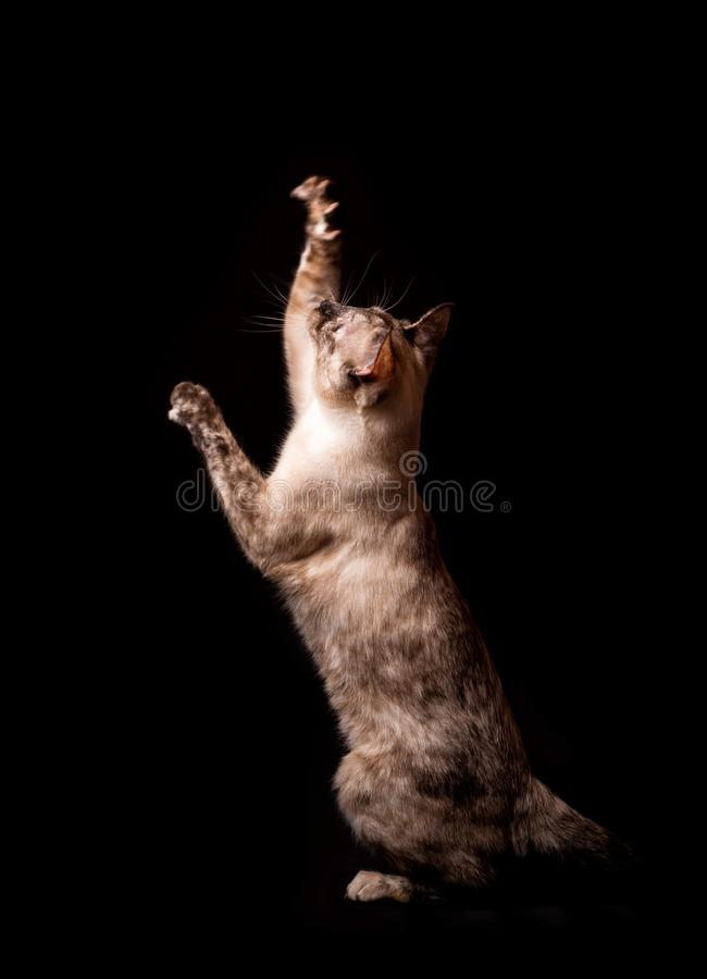 Sideview of a tortie point Siamese cat reaching up in the air. On dark background royalty free stock photos